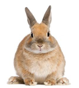 p10_rabbit